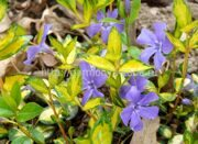 Барвинок малый «Illumination» Vinca minor «Illumination»