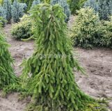 Ель обыкновенная Пендула Майор Picea abies Pendula Major
