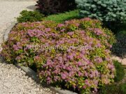 Спирея японская Magic Carpet «Walbuma» Spiraea japonica Magic Carpet «Walbuma»