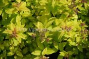 Спирея японская «Golden Princess» Spiraea japonica «Golden Princess»