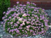 Спирея японская «Little Princess» Spiraea japonica «Little Princess»