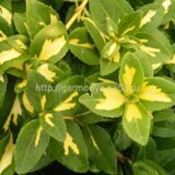 Бересклет Форчуна «Sunspot» Euonymus fortunei «Sunspot»