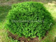 Туя западная «Hoseri» Thuja occidentalis «Hoseri»