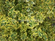 Бересклет Форчуна «Emerald'n gold» Euonymus fortunei «Emerald'n gold»
