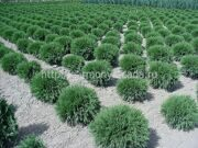 Туя западная «Woodwardii» Thuja occidentalis «Woodwardii»