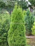 Туя западная «Smaragd» Thuja occidentalis «Smaragd»