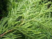Туя западная «Smaragd Light» Thuja occidentalis «Smaragd Light»