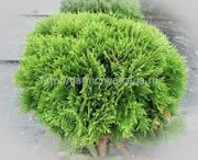 Туя западная Danica Thuja occidentalis Danica