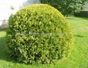 Туя западная Hoseri Thuja occidentalis Hoseri
